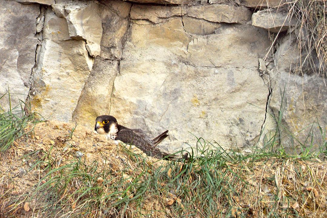 Wanderfalkenweibchen